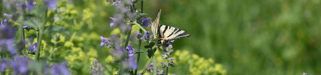 Schmetterlinge auf Minze